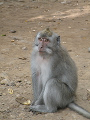 Crab-eating Macaque - Asah Globeg, Bali (twiga_swala) Tags: bali mountain indonesia island monkey queue macaco macaque longtailed longue macaca crabeating fascicularis gobleg asah javaneraffe crabier cangrejero