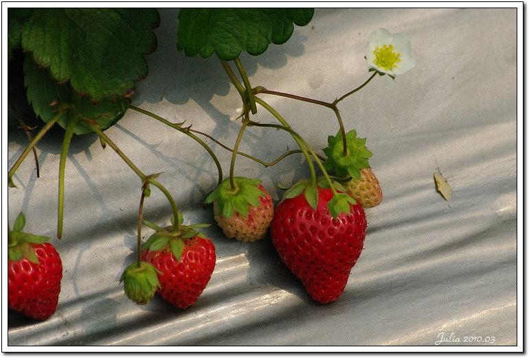 採草莓 (9)