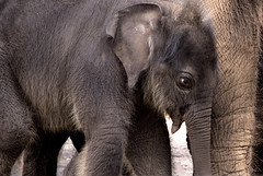 Pathi Harn (aka Mr Shuffles) (urbanmenagerie) Tags: baby elephant cute grey zoo sydney calf taronga tarongazoo elephantcalf mrshuffles tarongazooelephantcalf pathiharn