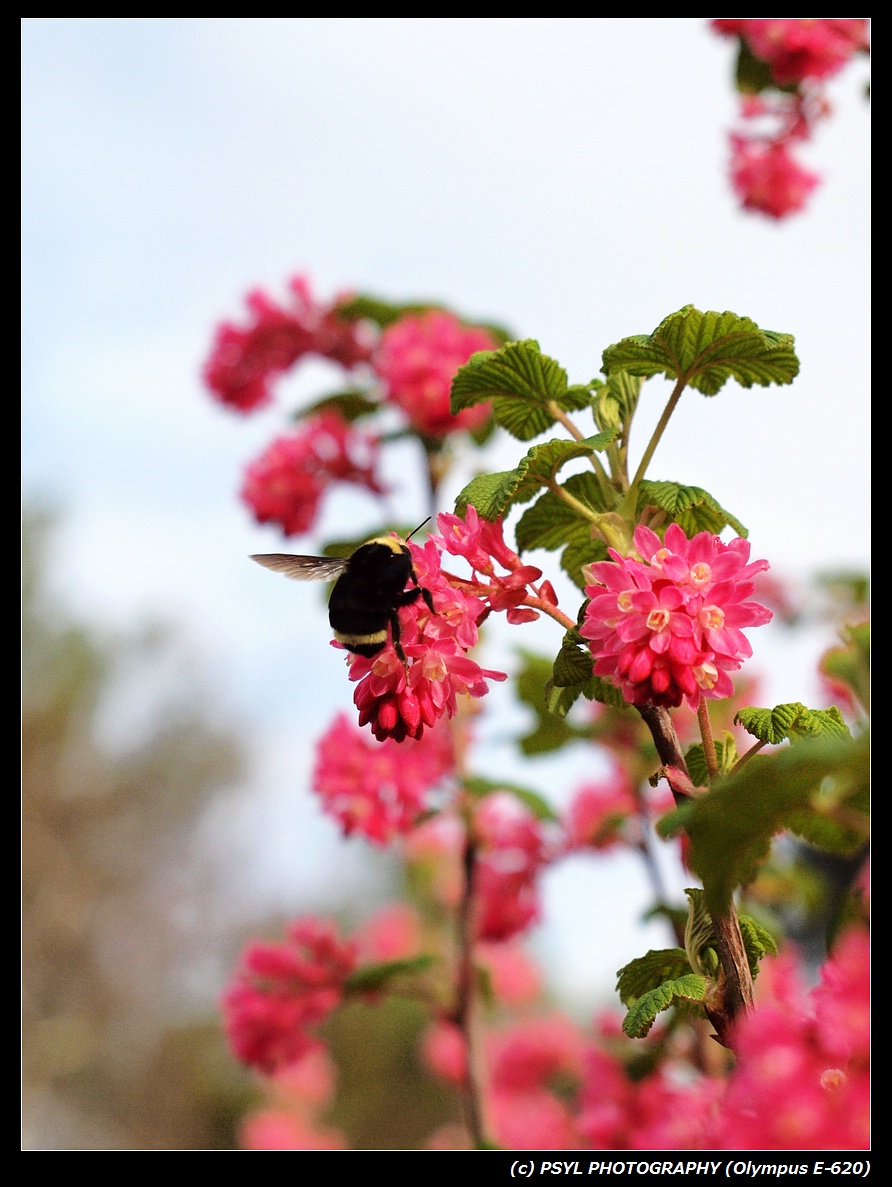 Yellow-faced Bumblebee (Bombus vosnesenskii)