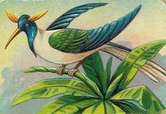 oiseauchromos 14