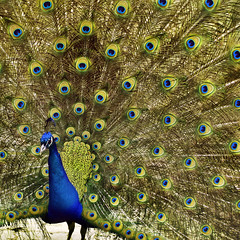 Show Off [explored} (red_dotdesign) Tags: toronto zoo highpark feathers peacock upandout