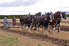 Six Horse Clydesdale Team Ploughing. (Hugh McCall) Tags: world horse vintage wagon shoe working plow championships harness heavy plowing oldtimers plough draft harvesting draught ploughing cultivating reins methven antque reiens