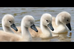 The sleepy cygnet ..... (Levels Nature) Tags: cute nature birds swan sweet cygnet sleepy swans cygnets muteswan muteswans saariysqualitypictures thetwoollys