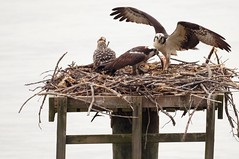 174/365: Thursday, June 23, 2011: Osprey family dinner (Stephen Little) Tags: bird lifelist aves 174 day174 623 project365 365project 62311 174365 project36612011 2011yip sonyslta55 3652011 slta55 jstephenlittlejr 6232011 23jun11 06232011 project36506232011 project36523jun11 thursdayjune232011 23jun2011