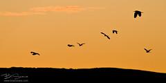 Lagoa de Antela (B.Seara) Tags: naturaleza nature canon wildlife aves galicia galiza 7d laguna ourense xinzo allariz brais antela braisseara