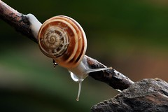 lumaca (luporosso) Tags: naturaleza macro nature closeup nikon natura snails lumaca d60 naturalmente lumache nikond60 luporosso theauthorsplaza
