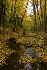 Northern Hardwood Forest (Nick Scobel) Tags: wood forest spring maple michigan salamander frog sugar american acer spotted northern peeper rana beech hardwood fagus crucifer grandifolia mesic sylvatica pseudacris maculatum laterale bluespotted ambystoma saccharum