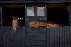 Horse talk (paul indigo) Tags: horses neck fun play joke humour stretch laugh conversation stable mane hourse