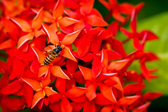 Bee on the hydrangea (Ali Tse) Tags: red flower macro hongkong bee hydrangea  tsingyi   tsingyipark