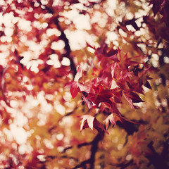 i give autumn my regards (besimo) Tags: autumn red fall leaves yellow square bokeh f14 branches vignette bielefeld d700 besimmazhiqi 50mm14g levelandtap