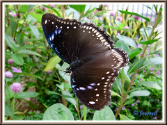 Hypolimnas bolina jacintha (Jacintha Eggfly), wings fully spread on Periwinkle