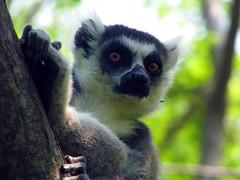 Ring-tailed lemur. Lemur catta. (Linda DV (the bad panda is getting on my nerves)) Tags: geotagged madagascar canon ambalavao anjareserve ringtailedlemur lemurcatta iucnredlist nearthreatened lindadevolder powershots5is 2009 africa primates