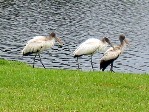 Three Storks on Lawn 20091125