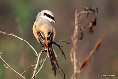 Shrike.. (K. Shreesh) Tags: india birds soe pune naturesfinest 50d topshots kavdi eos50d platinumphoto ef400f56l vosplusbellesphotos thebestofmimamorsgroups