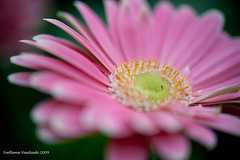 LOVE ME DO (Marquisa -) Tags: pink flower yellow interestingness backyard nikon texas dof bokeh houston explore daisy fp frontpage svetlana marquisa explored lovemenot d700 explorefp svetlanavasiliadi russiantexas svetan svetanphotography exploreddec720095 svetalanavasiliadi