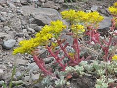 Broadleaf stonecrop (Wayne Weber) Tags: flowers washington wildflowers crassulaceae stonecrop sedumspathulifolium deceptionpassstatepark broadleafstonecrop
