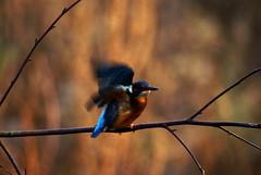 Kingfisher - Fairburn Ings RSPB Reserve (Chris McLoughlin) Tags: uk england bird nature closeup day wildlife sony yorkshire kingfisher tamron westyorkshire a300 fairburnings 70mm300mm fairburningsrspbreserve sonya300 tamron70mm300mm sonyalpha300 alpha300 chrismcloughlin