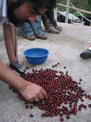 hand-picking (ry3bee) Tags: colombia huila coffeecherries coffeecherry sd450 powershotsd450 cafedecolombia handpicking