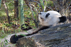 DSC_2261 (thi.g) Tags: schönbrunn bear cute zoo nikon panda eating bamboo thig wwf d90 thilogierschner