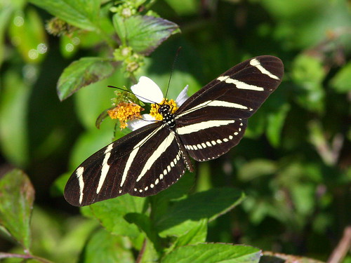 Zebra Heliconian 20100118