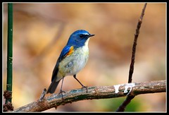 Red-flanked Bluetail, Meiji-jingu Shrine, 29.1.10 (Callocephalon Photography) Tags: blue male bird beautiful japan composition forest dark tokyo shinjuku harajuku stunning 28 redflanked redflankedbluetail bluetail tarsigercyanurus muscicapidae passeriforme canonef300mmf28lisusm canoneos40d meijijingueshrine