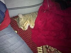 أحدن ينآم وحآط راسه بكمه (zGrt) Tags: cat قط قطوه
