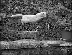 The Matrix Cat's (fab_G) Tags: plante chat jardin bond blanc saut mouvement chasse conceptuel