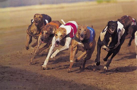 40 cães participam do GP, que paga R$ 2 mil ao dono do canino campeão. Crédito: guiapetcia.com.br