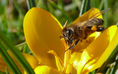 abeille_crocus by benoit747.