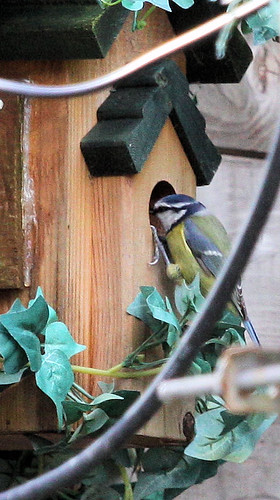 Blue Tits Investigate the Nestbox