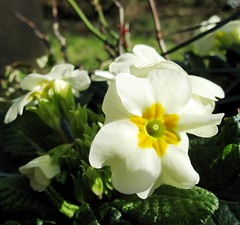 First primroses of the spring