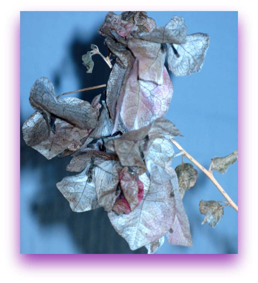 Dying Bougainvillea #2!