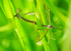 Crane Flies (?) mating