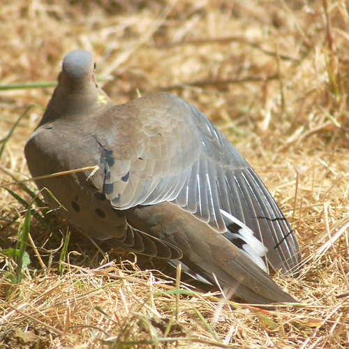 A dove in my backyard.