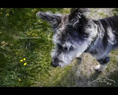 ~ Vogelperspektive ~ (mcPhotoArts) Tags: portrait dog chien spring perro hund cachorro harrie springtime garmischpartenkirchen frhling htehund bergerpicard bergerdepicardie sigma1770mm2845dcmacro phtoshopcs4 canoneos550d