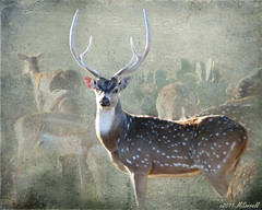 (Passion4Nature) Tags: texture beauty texas animalrights sensational hillcountry magnificent artisticexpressions fantasticnature axisbuck skeletalmess magicunicornverybest magicunicornmasterpiece sbfmasterpiece arttex sbfgrandmaster