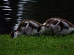 Guzzling Goslings (Steve Taylor (Photography)) Tags: gosling grass bird geese black brown dark green grey water avonriver river newzealand nz southisland canterbury christchurch hagleypark