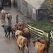 Cattle file into Kilchiaran stedding, Islay.