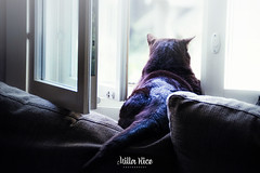 The world is mine (mirri_inc) Tags: infinitexposure cat light window look animal wishful indoor nikon sigma damncool