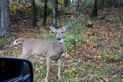 Deer gets curious about the car