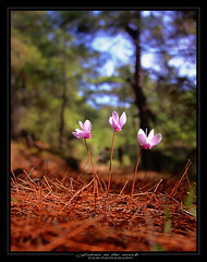 Fairies in the woods (tolis*) Tags: pink flowers autumn wild nature forest canon island eos woods tokina greece fairies cyclamen soe chios 50d 1224f4 tolis   flioukas