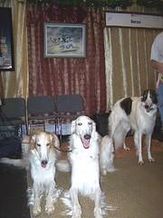 dog canine russian sighthound meet akc borzoi wolfhound breeds
