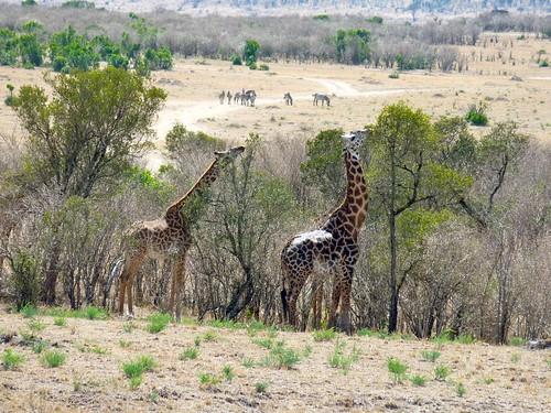 Giraffes, Maasai Mara, Kenya