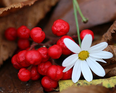 Autumn colours (Mukumbura) Tags: flowers autumn red brown white fall nature crimson leaves scarlet leaf oak colours berries bright hazel daisy chestnut curled colourful fading crumbling skimmia