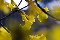 Num dia frio (Robson HNC) Tags: brazil flores flower tree nature brasil canon natureza flor sigma ipê arvore 70200 maringá 40d