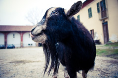 Mmmhh grass! (nicola.albertini) Tags: park autumn italy parco animals torino nikon funny italia goat tibet autunno turin animali divertenti capra d90 venaria capretta tibetangoat caprettatibetana