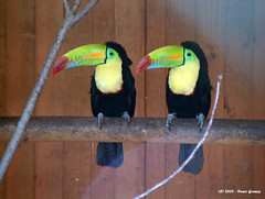 Dois Tucanos / Two Toucans (Nuno-Gomes (Enough is enough)) Tags: life wild nature animal zoo toucan interesting fantastic