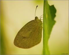 Night perch (feenixfotography) Tags: barredyellow euremadaira