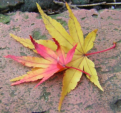 Psst! Wanna know a secret? (Butterfly Psyche) Tags: autumn red orange brick fall leaves yellow leaf maple sidewalk japanesemaple mapleleaf multicolored multicolor mapleleaves fallenleaves redandyellow orangeandyellow psstwannaknowasecret